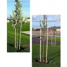 Two Inch Round, Pointed Treated Tree Stakes, 2 Lengths